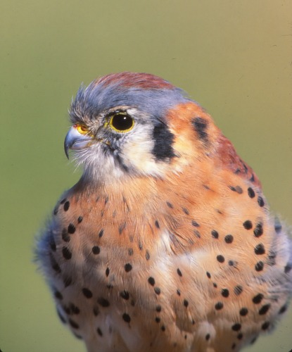 American Kestrel Arches NP