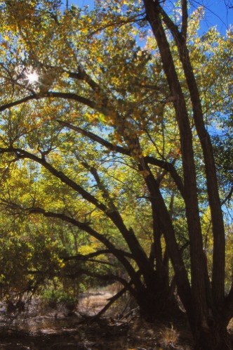 Cottonwood with Sunburst Capitol Reef NP