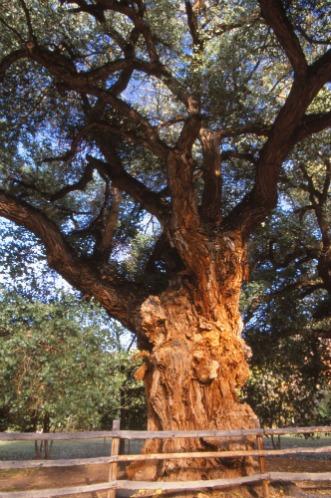 Cottonwood Tree Capitol Reef NP