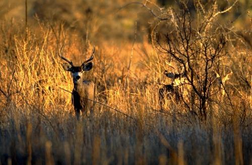 Mule Deer Capitol Reef NP