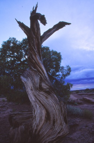 Twisted Juniper Dead Horse Point State Park
