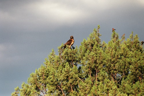Red-tailed Hawk Grand Canyon North Rim