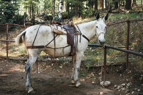 Grand Canyon North Rim Mule Ride