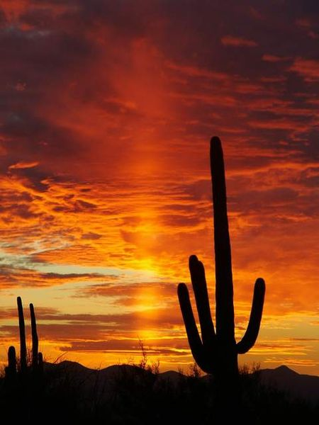Saguaro at Sunset - Saguaro-National-Park-Sunset