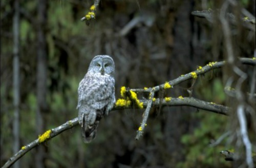 Great Grey Owl Walnut Canyon National Monument