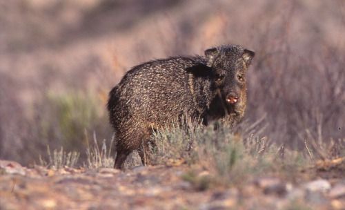 Walnut Canyon National Monument Peccary