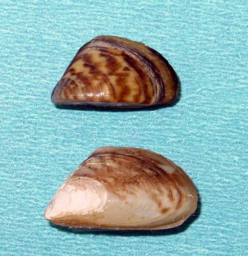 Quagga Mussels And Zebra Mussels Pose Serious Threat To Lake Powell