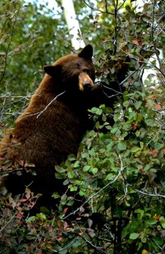 American Black Bear Zion National Park