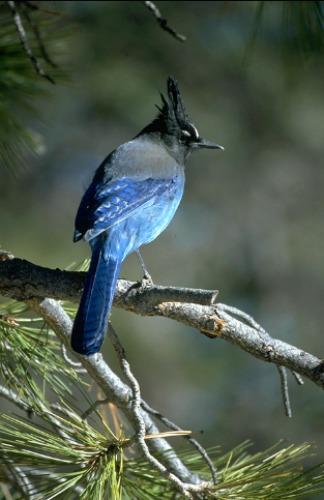 Stellar's Jay Zion National Park