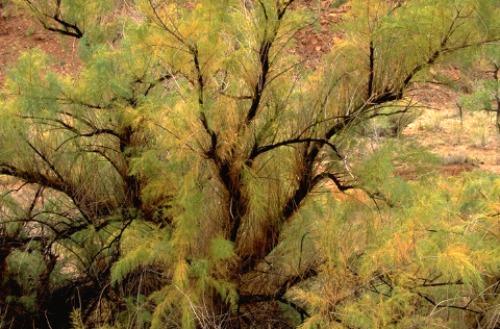 Tamarisk Zion National Park