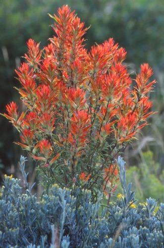 Indian Paintbrush Capitol Reef  NP: