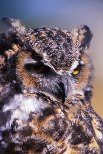 Great Horned Owl - Canyonlands NP