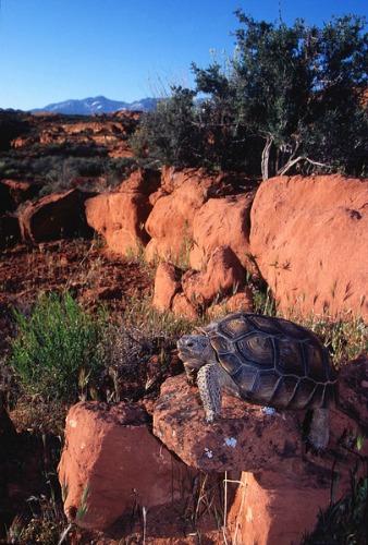 Desert Tortoise - Coral Pink Sand Dunes
